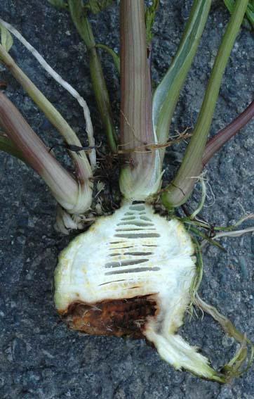 自然毒のリスクプロファイル:高等植物:ドクゼリ