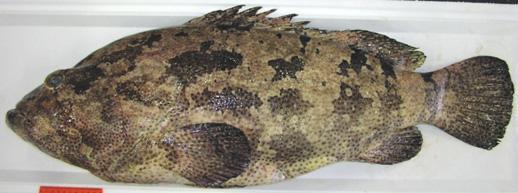 写真 自然毒のリスクプロファイル:魚類:シガテラ毒 厚生労働省 本文へジャンプ サイトの主なメニ