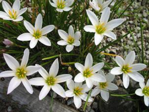 花壇でよく見かけるタマスダレ